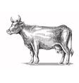 black cow vector image