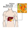 Insulin from the beta cells of the pancreas vector image vector image
