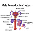 Chart showing male reproductive system vector image