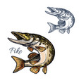 pike fish sketch isolated icon vector image