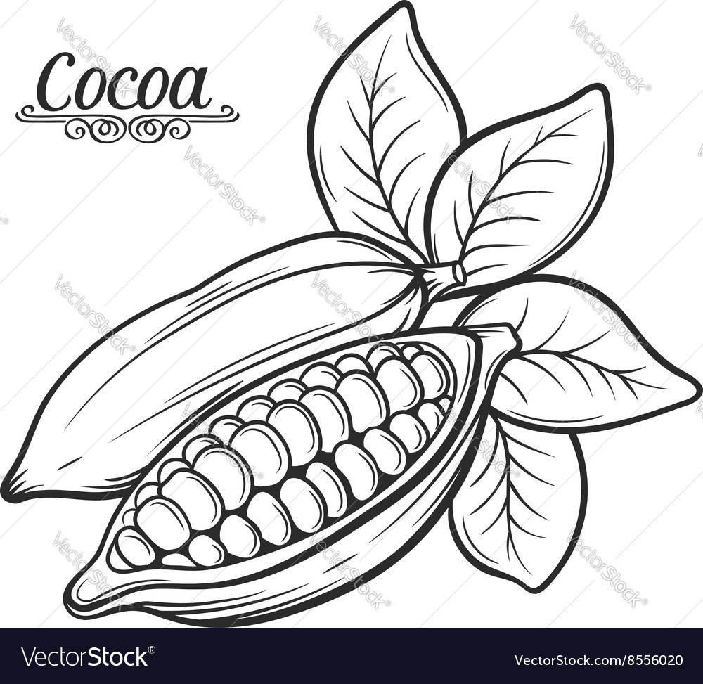 Hand drawn cocoa bean vector