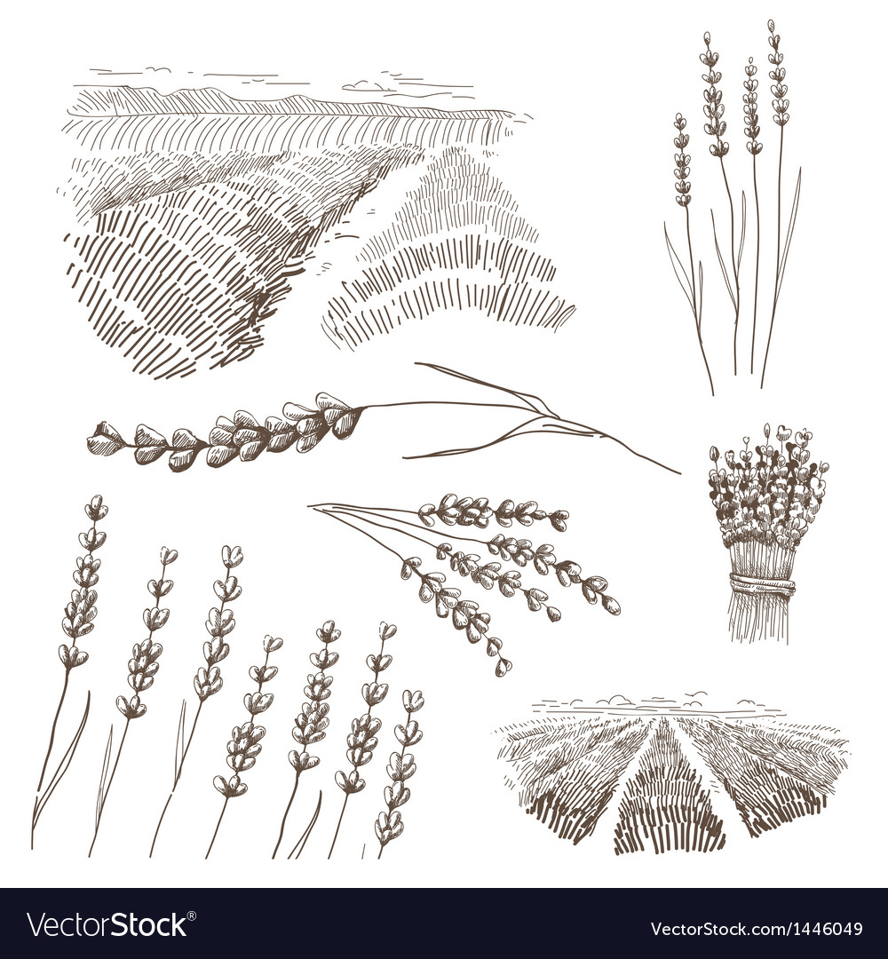 Hand drawn lavander flowers set vector