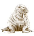 engraving of walrus vector image