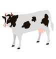 adult cow with black spots isolated icon vector image