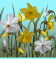 daffodil flowers isolated vector image