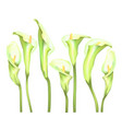 flowers callas on a white background vector image