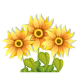 Blooming sunflowers vector image