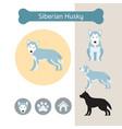 siberian husky dog breed infographic vector image