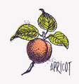 Engraving apricot with ink blots vector image