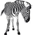 playful zebra vector image vector image
