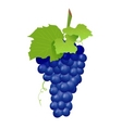 grape cluster isolated on white vector image vector image