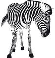 playful zebra vector image