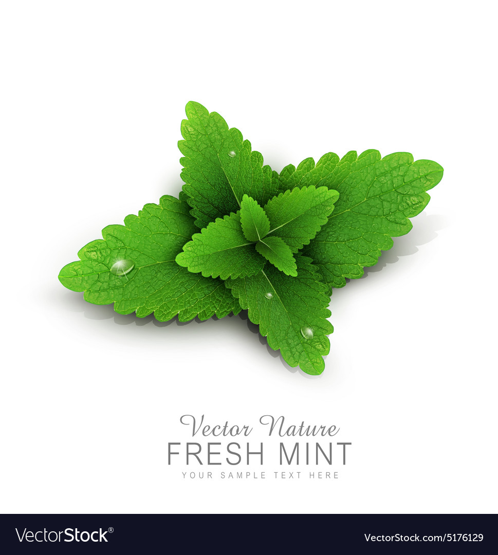 Fresh mint leaves with dew drops vector