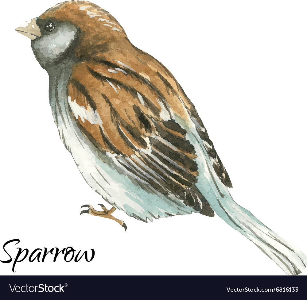 Sparrow on white background vector