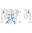 Diagram showing shoulder bones vector image vector image