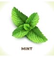 Mint leaf isolated on white vector image