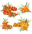 set of ripe sandthorn vector image vector image