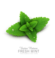 fresh mint leaves with dew drops vector image vector image