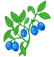 blueberry branch vector image