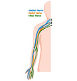 Different nerve system in human arm vector image