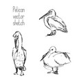 set of pelican pencil sketches vector image