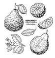 bergamot drawing isolated vintage vector image
