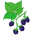 blackberry branch vector image