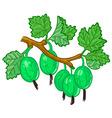 gooseberry branch vector image vector image