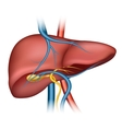 Human liver structure vector image