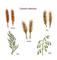 set of cereals barley rye oats rice and wheat vector image