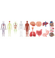 Set of human anatomy and systems vector image