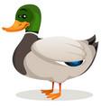 cartoon mallard duck vector image