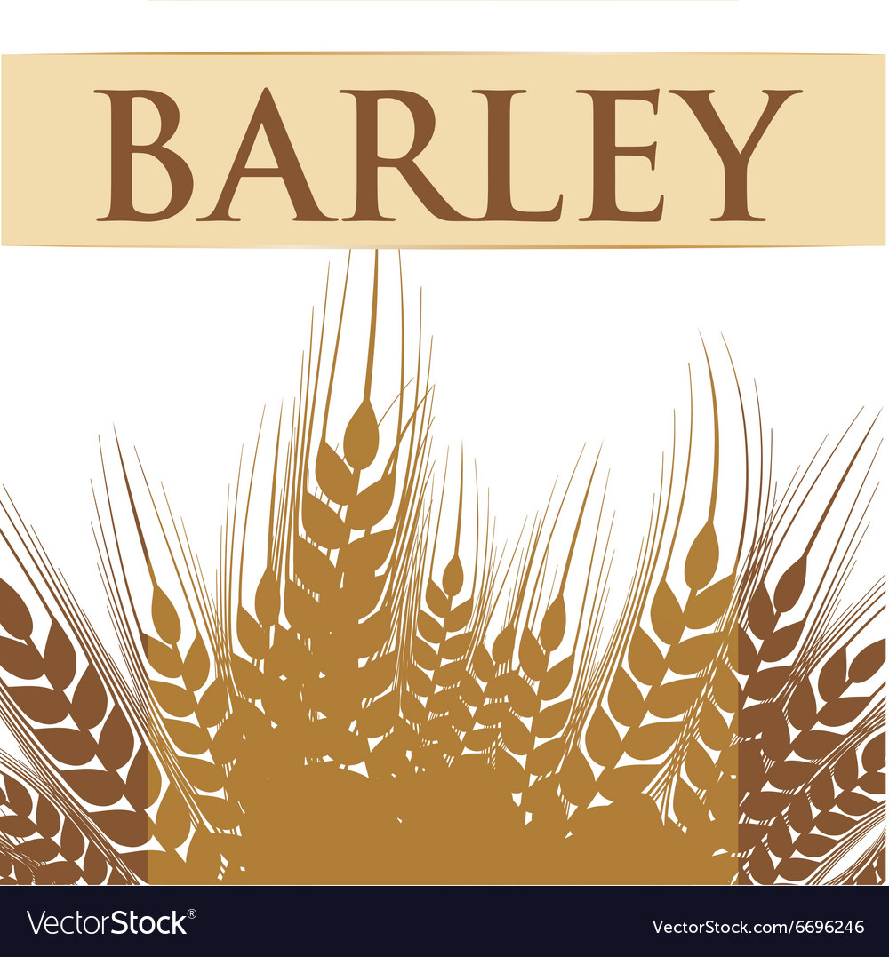Barley grains design vector