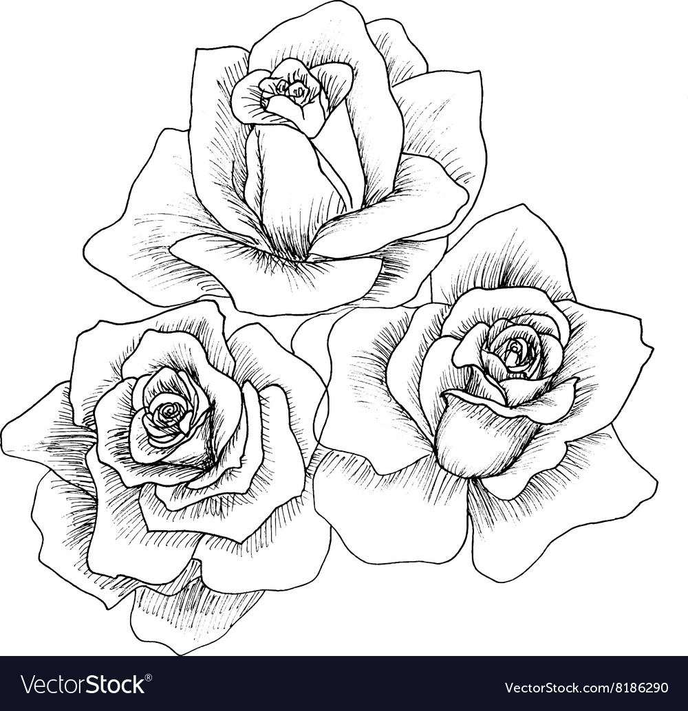 Highly detailed hand drawn roses vector