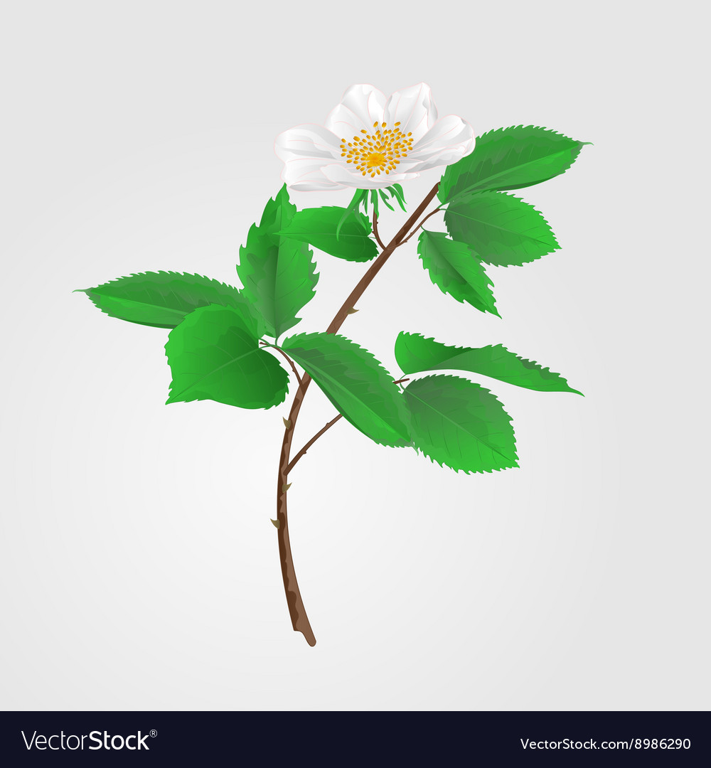 Wild rose twig with leaves and flowers vector