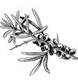 Branch of sea-buckthorn berries vector image
