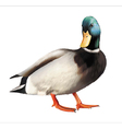 Male mallard duck vector image