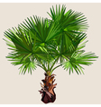 small palm tree with spreading leaves vector image