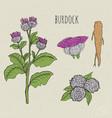 burdock medical botanical isolated vector image