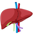 Liver anatomy of human body vector image vector image