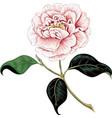 Camellia vector image