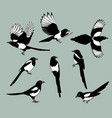 set magpie birds vector image