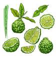 fruit of bergamot orange or kaffir lime vector image