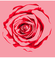 beautiful red rose flower vector image