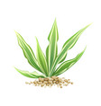 sansevieria trifasciata with small stone vector image vector image