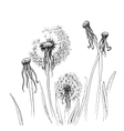 Hand drawn dandelion vector image