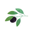 branch with black olive and green vector image