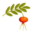 rose hips vector image