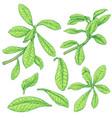 synadenium branches sketch vector image