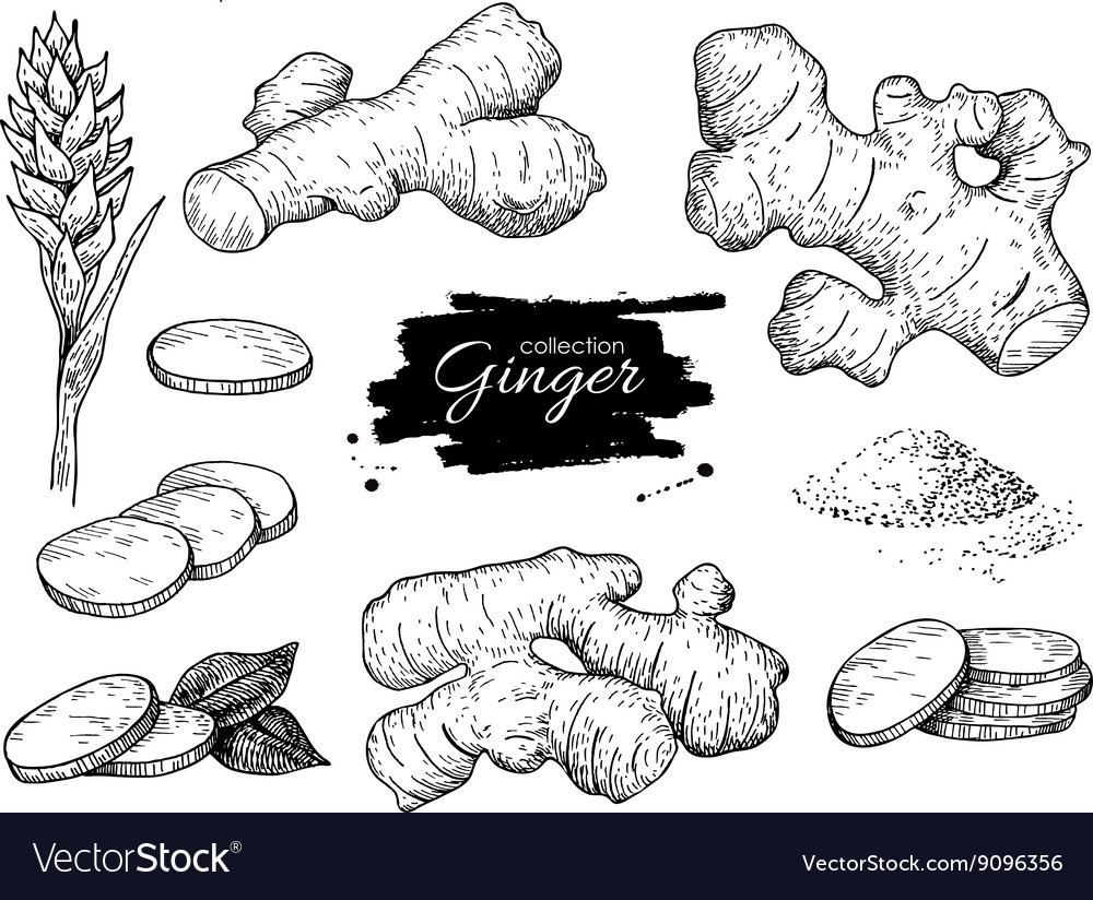 Hand drawn ginger set root ginger pieces vector